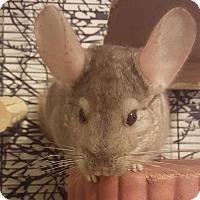 Adopt A Pet :: Minccino - Patchogue, NY