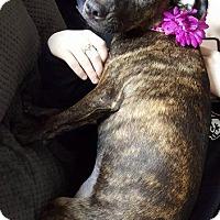 Adopt A Pet :: Rump Shaker - Racine, WI