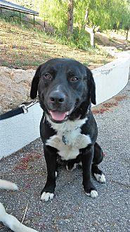 Labrador Retriever Mix Dog for adoption in Malibu, California - Malcolm