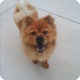 Chow Chow Dog for adoption in Sacramento, California - Frankie