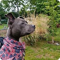 Adopt A Pet :: Harper - Southington, CT
