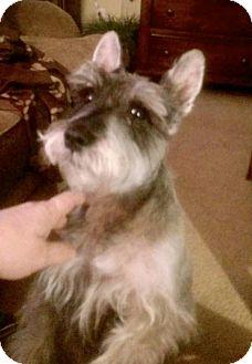 Miniature Schnauzer Mix Dog for adoption in Brattleboro, Vermont - Harry
