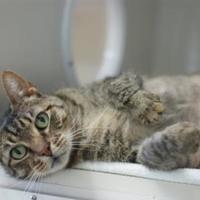 Adopt A Pet :: Bartleby - Manteo, NC