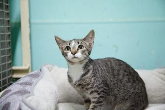 Domestic Shorthair/Domestic Shorthair Mix Cat for adoption in Clinton, Missouri - Mau