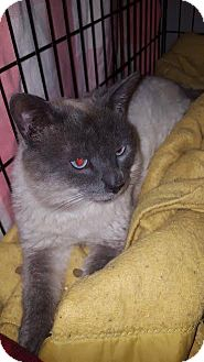Siamese Cat for adoption in Clay, New York - Buggy
