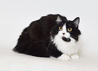 Domestic Mediumhair Cat for adoption in Fruit Heights, Utah - Calvin