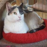 Adopt A Pet :: Zara - Encinitas, CA