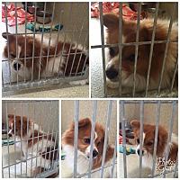 Adopt A Pet :: Tracie - Lomita, CA