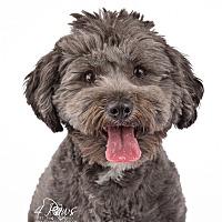 Adopt A Pet :: Rocky - Lodi, CA