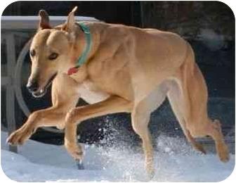 Greyhound Mix Dog for adoption in Wayne, Michigan - Mezzie