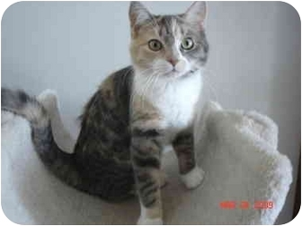 Domestic Shorthair Kitten for adoption in New York, New York - Niblet
