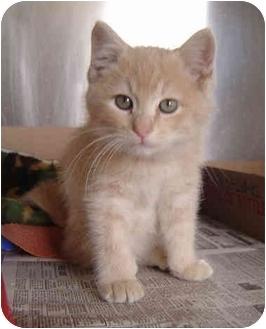 Domestic Shorthair Kitten for adoption in Overland Park, Kansas - Dusty