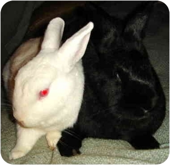 New Zealand Mix for adoption in Santee, California - Sooty