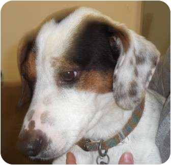 Jack Russell Terrier Mix Dog for adoption in Coudersport, Pennsylvania - RASCAL
