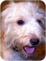 Shih Tzu/Poodle (Miniature) Mix Puppy for adoption in Oswego, Illinois - Sylvie