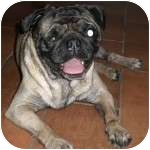 Pug Dog for adoption in Windermere, Florida - Ratchet