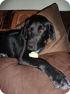 Labrador Retriever Dog for adoption in Burbank, California - Clark HOUSETRAINED, LIKES DOGS