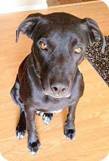 Labrador Retriever Mix Dog for adoption in Scottsdale, Arizona - Jaxson (courtesy post)