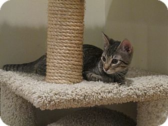 American Shorthair Kitten for adoption in New Rochelle, New York - Lilly