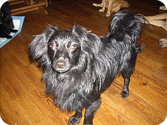 Pomeranian/Dachshund Mix Puppy for adoption in Morristown, Tennessee - Midnight