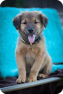 Golden Retriever/German Shepherd Dog Mix Puppy for adoption in Auburn, California - Natalie