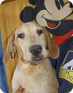 Catahoula Leopard Dog/Bloodhound Mix Puppy for adoption in Oviedo, Florida - John