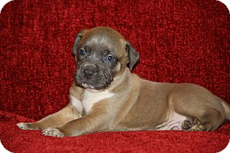 Boxer Mix Puppy for adoption in West Milford, New Jersey - SHERLOCK- pending