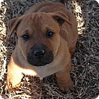 Adopt A Pet :: Farrah Fawcett - Plano, TX