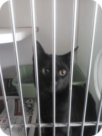 Domestic Shorthair Cat for adoption in Belle Chasse, Louisiana - Maleficent