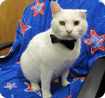Manx Cat for adoption in Port St. Joe, Florida - Sam