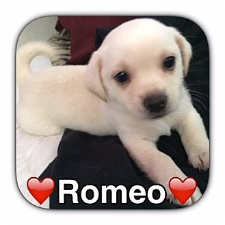 Pug/Chihuahua Mix Puppy for adoption in Pahrump, Nevada - Romeo