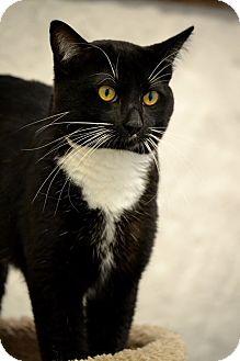 Domestic Shorthair Cat for adoption in Fort Riley, Kansas - Wilbur