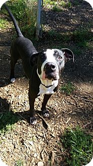 Great Dane Mix Dog for adoption in South Park, Pennsylvania - Freddy
