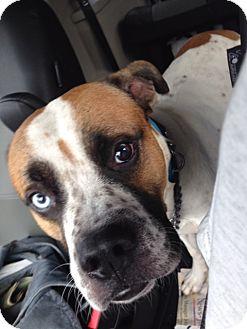 Boxer/Husky Mix Dog for adoption in Smithtown, New York - Bandit