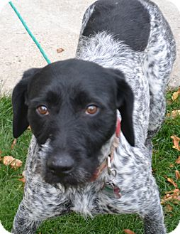 German Wirehaired Pointer Mix Dog for adoption in Fruit Heights, Utah - Darla