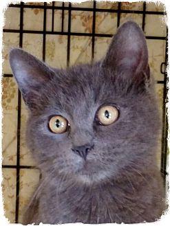 Russian Blue Kitten for adoption in Pueblo West, Colorado - Storm
