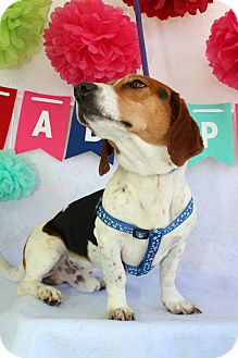 Basset Hound/Jack Russell Terrier Mix Dog for adoption in Macon, Georgia - Chumley