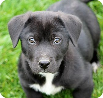 Beagle/Australian Shepherd Mix Puppy for adoption in Liberty Center, Ohio - Vlad