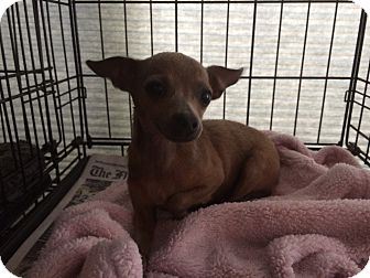 Chihuahua Puppy for adoption in Middleburg, Florida - Laya