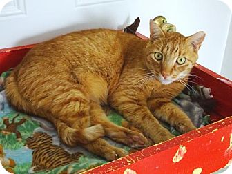 Domestic Shorthair Cat for adoption in Belleville, Michigan - Little O