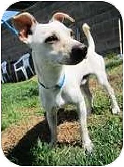 Dachshund/Beagle Mix Dog for adoption in Forest Ranch, California - Paddy