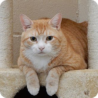 Domestic Shorthair Cat for adoption in Long Beach, New York - Romeo
