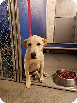 Labrador Retriever Mix Puppy for adoption in Smithtown, New York - Sophie