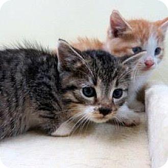 Domestic Shorthair Kitten for adoption in Janesville, Wisconsin - Slider