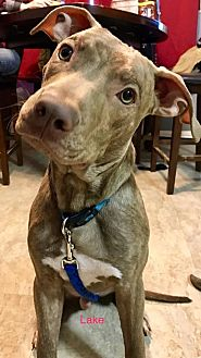 American Staffordshire Terrier/Boxer Mix Dog for adoption in Indianapolis, Indiana - Lake