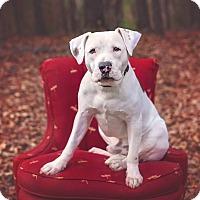 Adopt A Pet :: Scout - Atlanta, GA