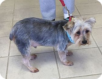 Yorkie, Yorkshire Terrier Dog for adoption in Poplarville,, Mississippi - Rocky