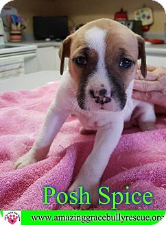 Shepherd (Unknown Type)/Boxer Mix Puppy for adoption in Pensacola, Florida - Posh Spice