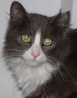 Domestic Longhair Cat for adoption in Savannah, Missouri - Arthur