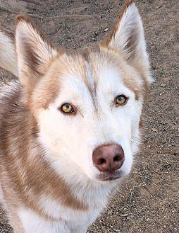 Siberian Husky Dog for adoption in Cedar Crest, New Mexico - Tokki